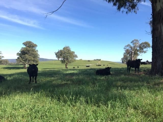 Aberbaldie cattle