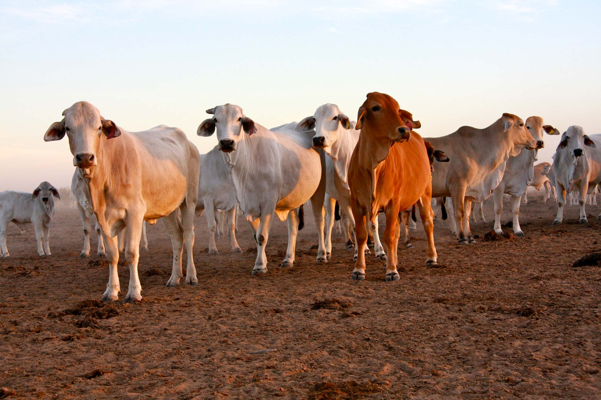 Armraynald cattle