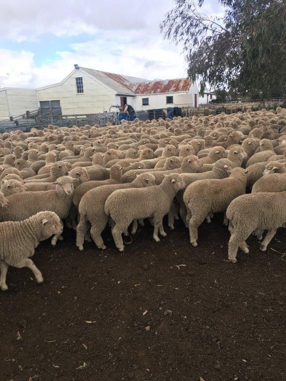 Beckworth Court Sheep
