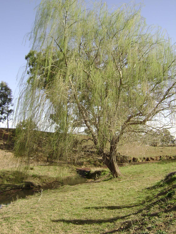 Burindi Willow