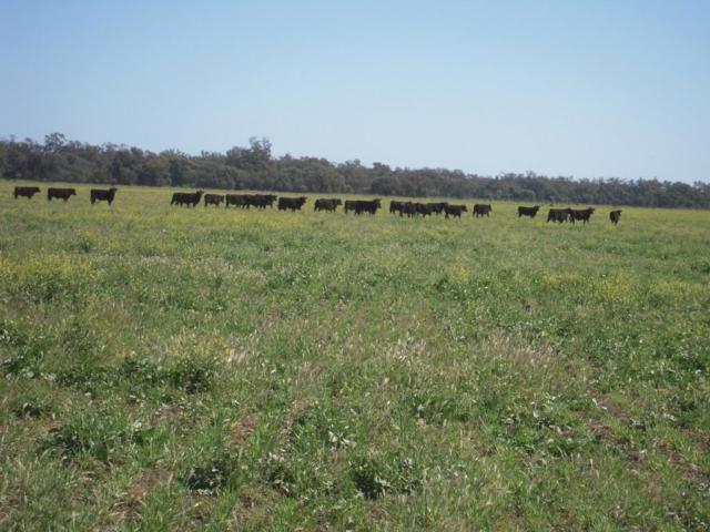 Buttabone cattle
