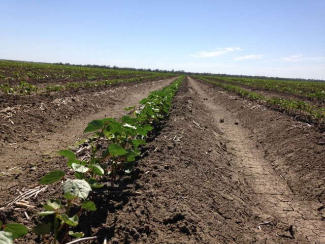 Buttabone Irrigation Cotton