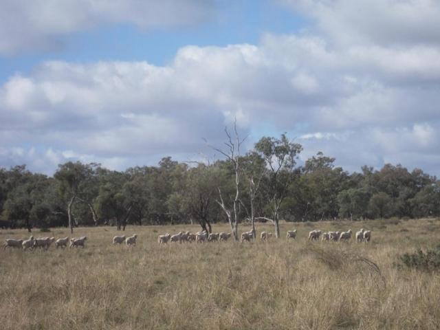 Buttabone sheep