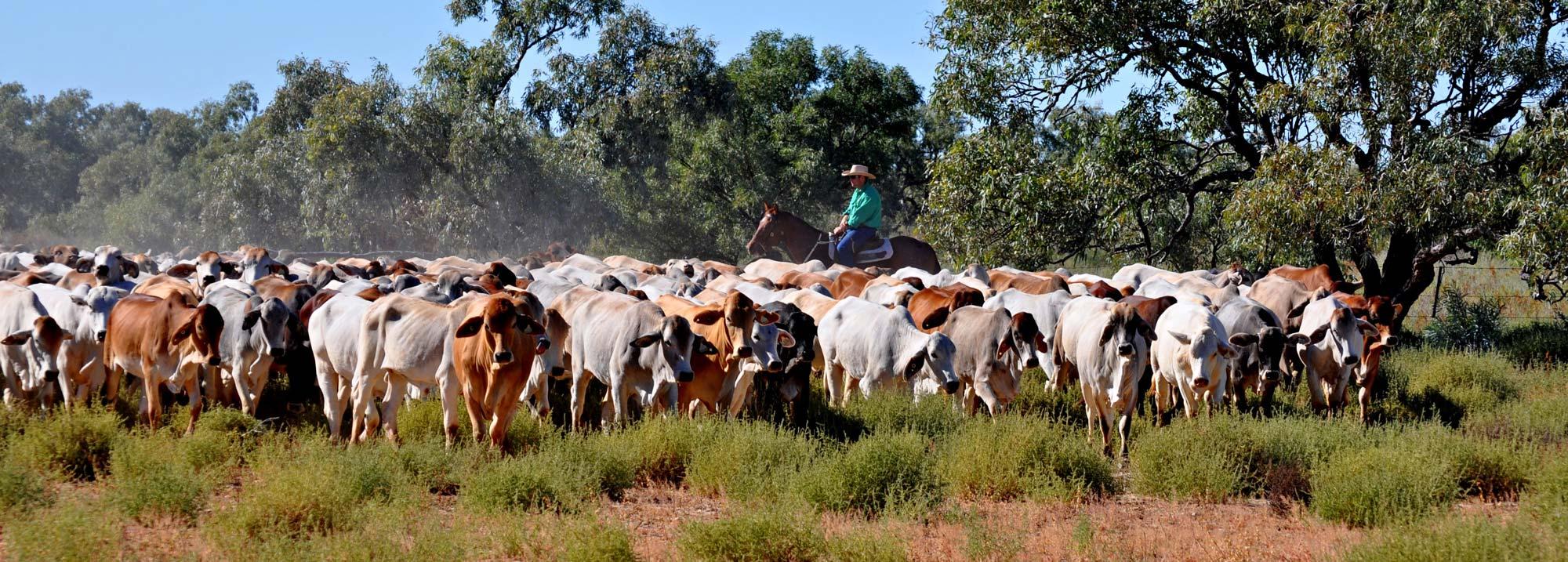 Davenport Cattle