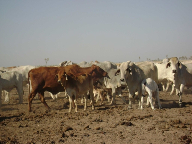 Gregory Downs cattle