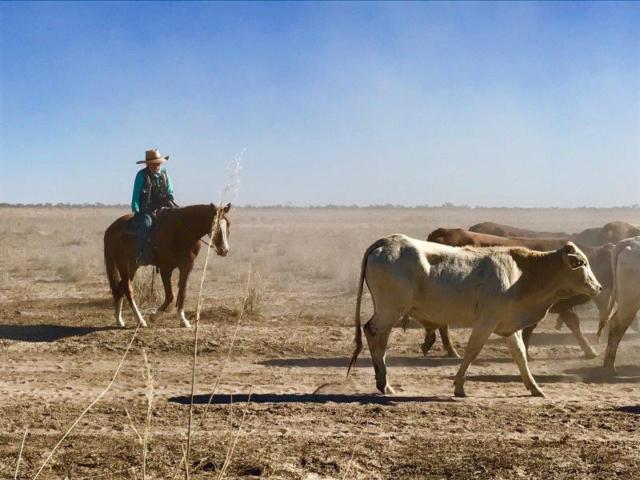 Tanbar cattle