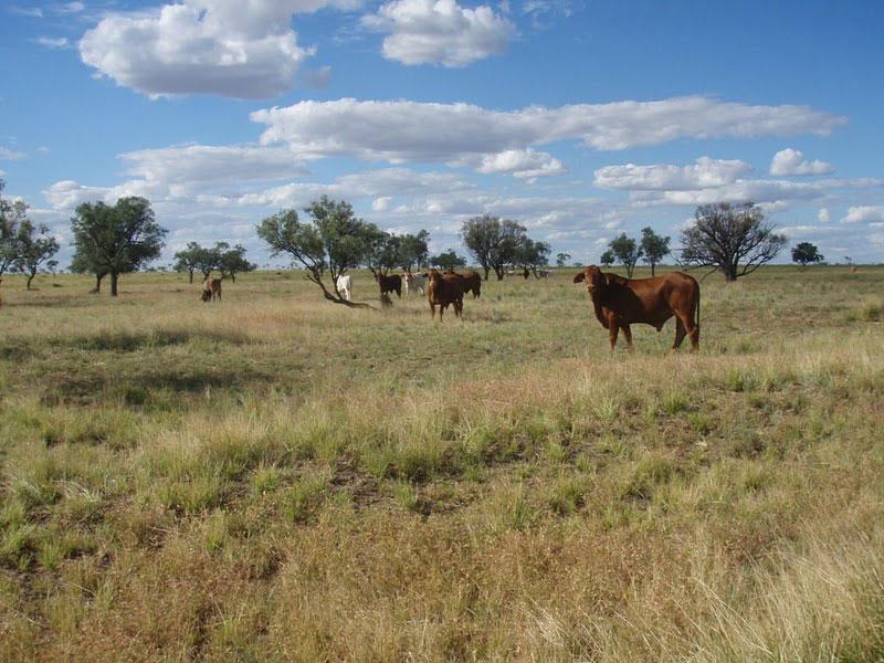 Malvern Hills cattle