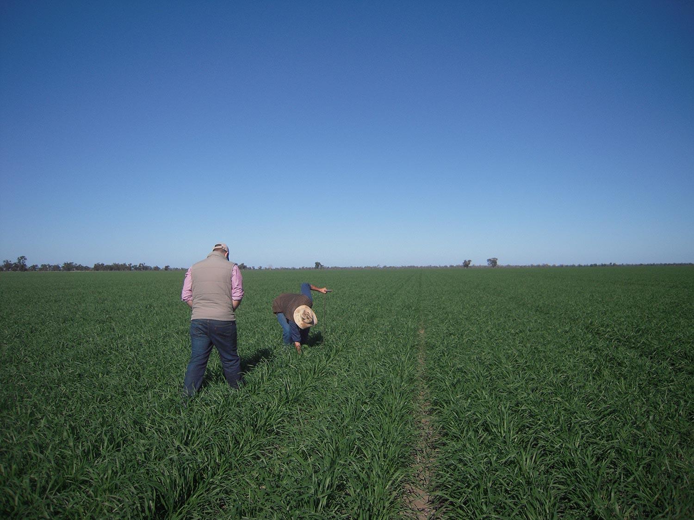 Merrimba among the crops