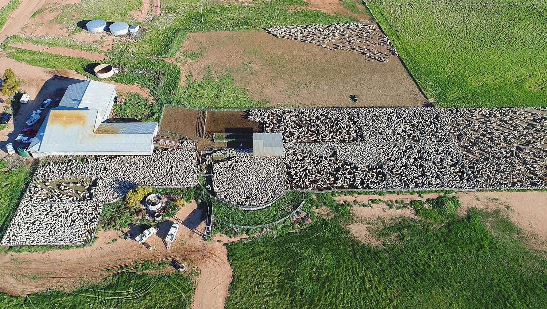 Mungadal shearing wethers