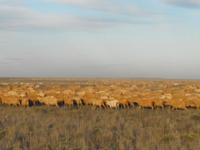 Mungadal sheep