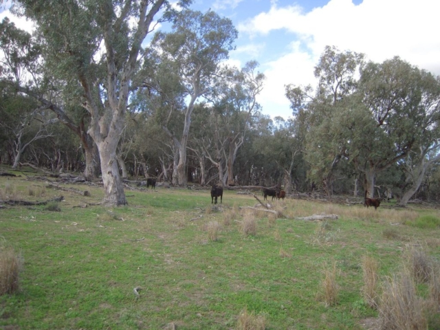Oxley Cattle amongst the gums