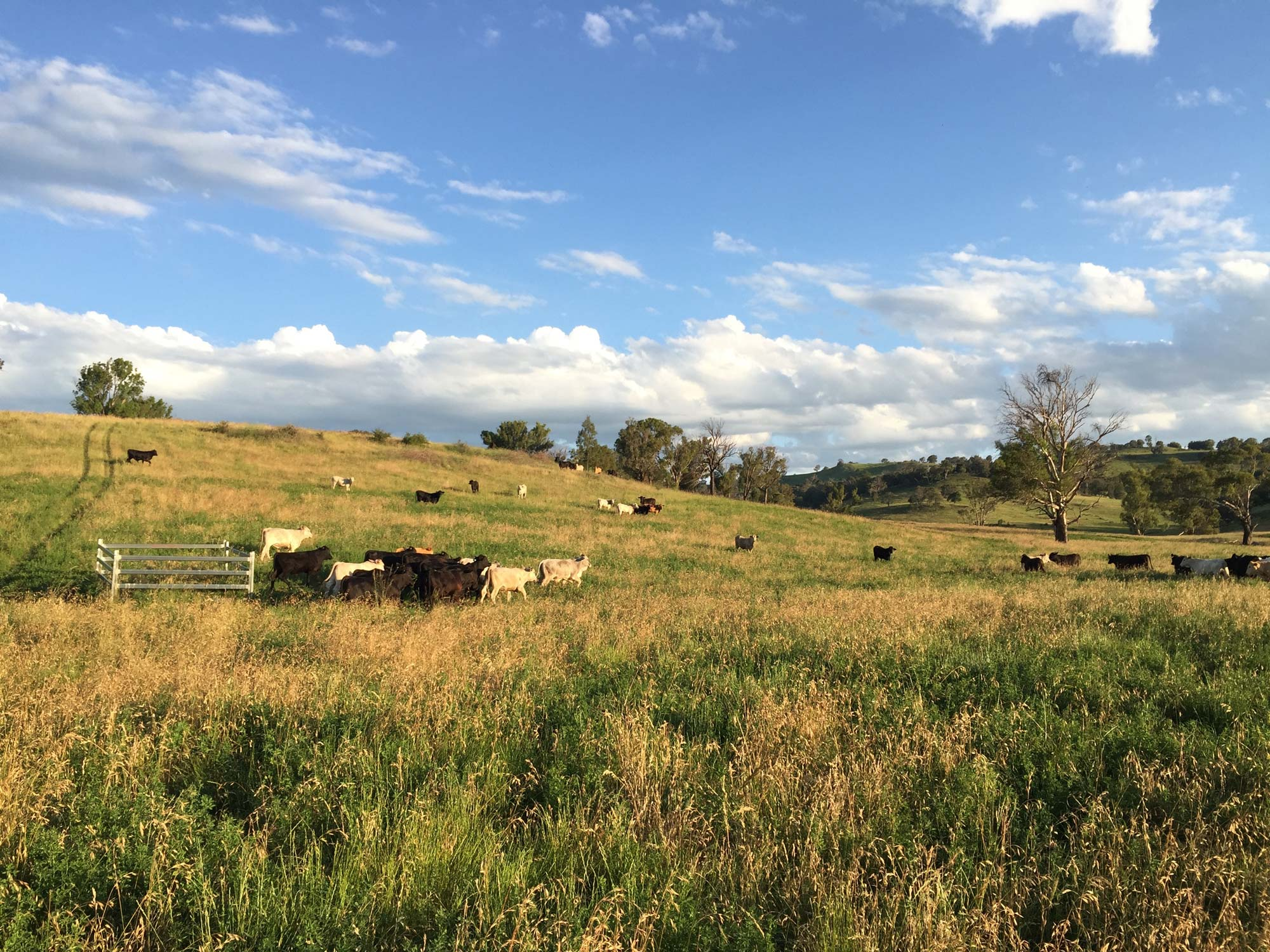 Paradise cattle