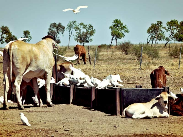 Docklands cattle, Paraway Pastoral Co