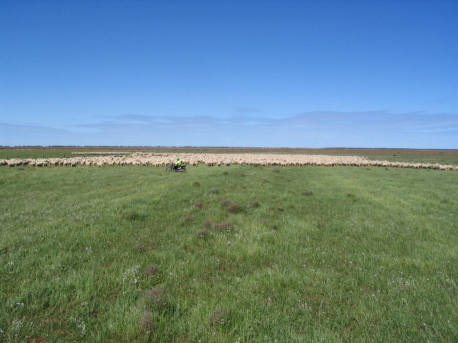 Steam Plains 6000 Hoggets